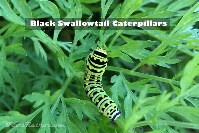 black swallowtail caterpillars