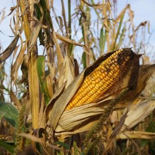 corn-170767_1280